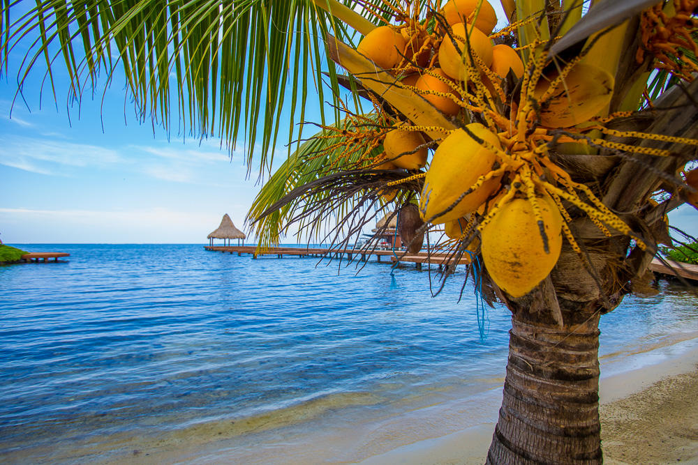 Coconuts on a palm tree on a sandy beach