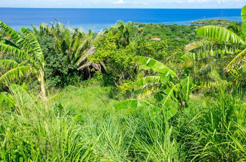 Tropical jungle growth on Roatan island